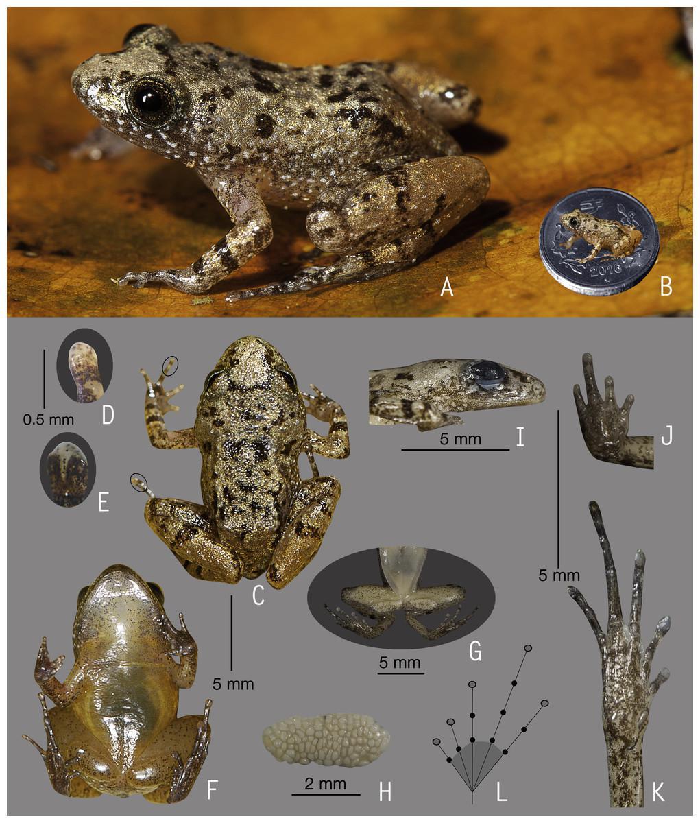 Nově objevené druhy žab z Indii