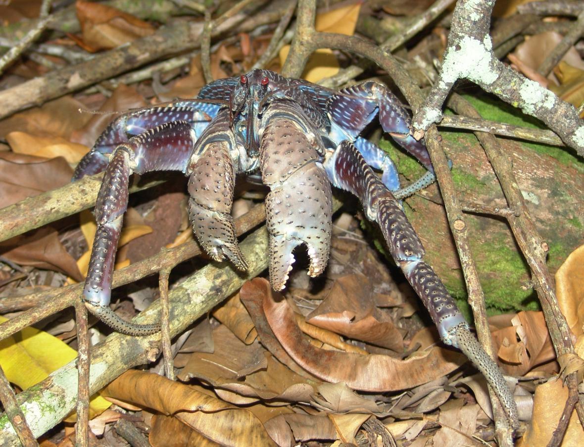 Krab palmový