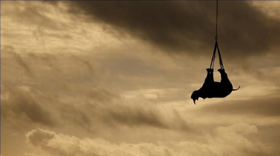 Transport nosorožce vrtulníkem