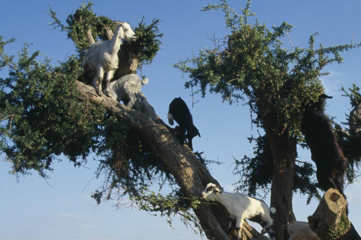Kozy v pouštní krajině