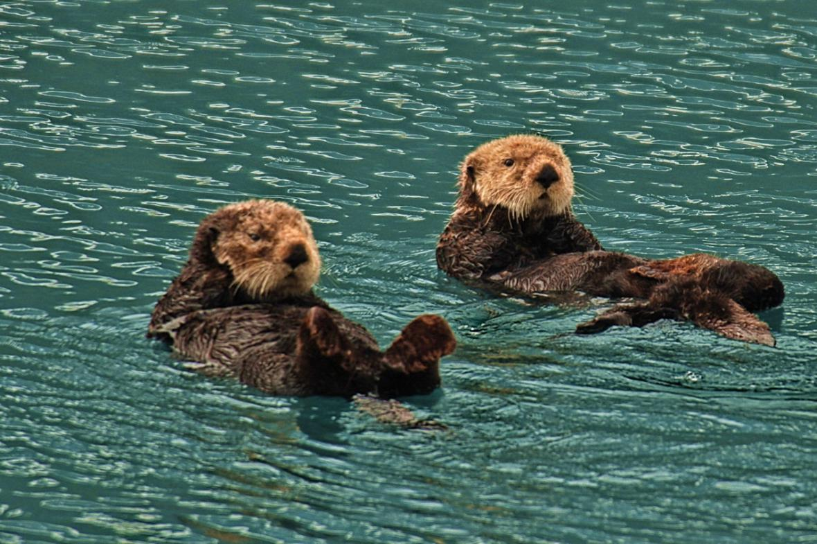 Mořské vydry