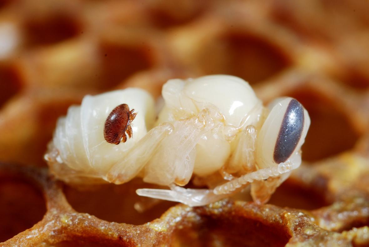 Kleštík včelí - příčina varroízy