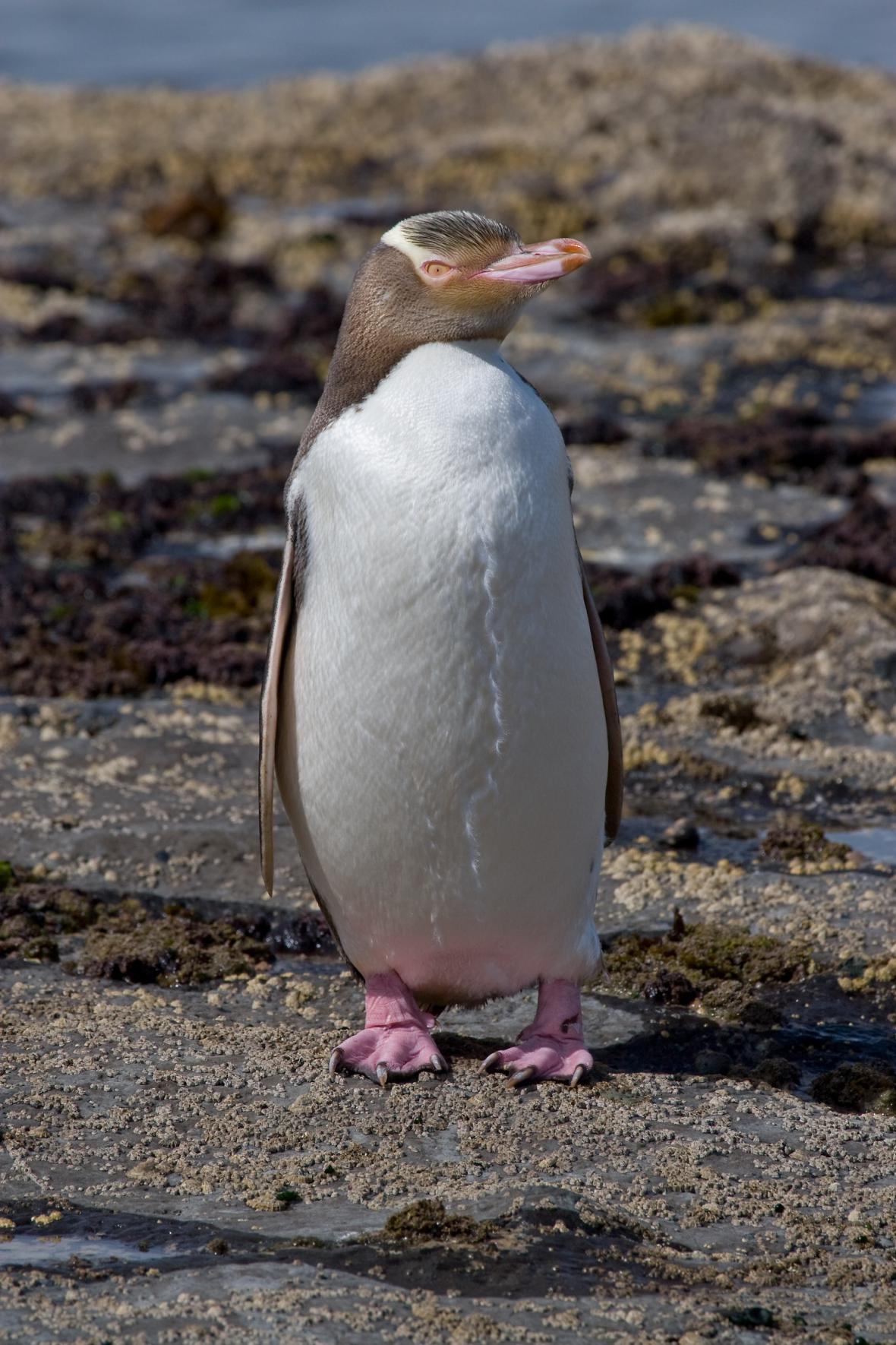 Tučňák žlutooký