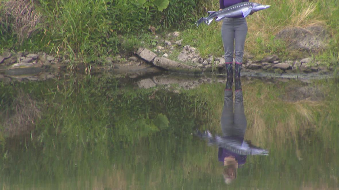 Jeseteři se vrací do moravských řek