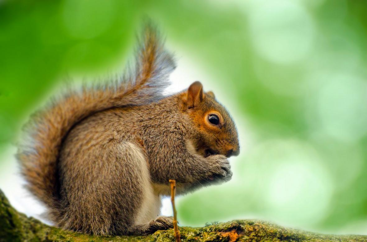 Invazivní šedé veverky vytlačují ty klasické zrzavé