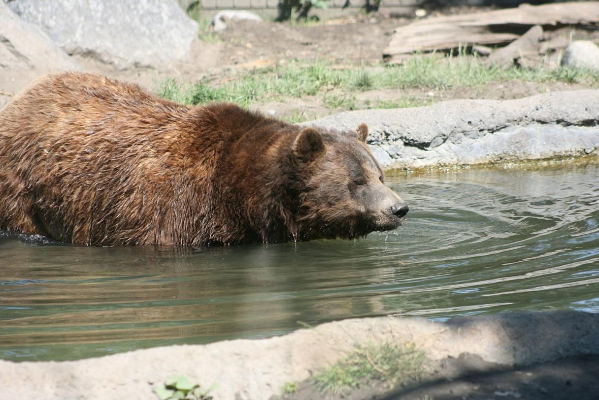 Medvědi grizzly