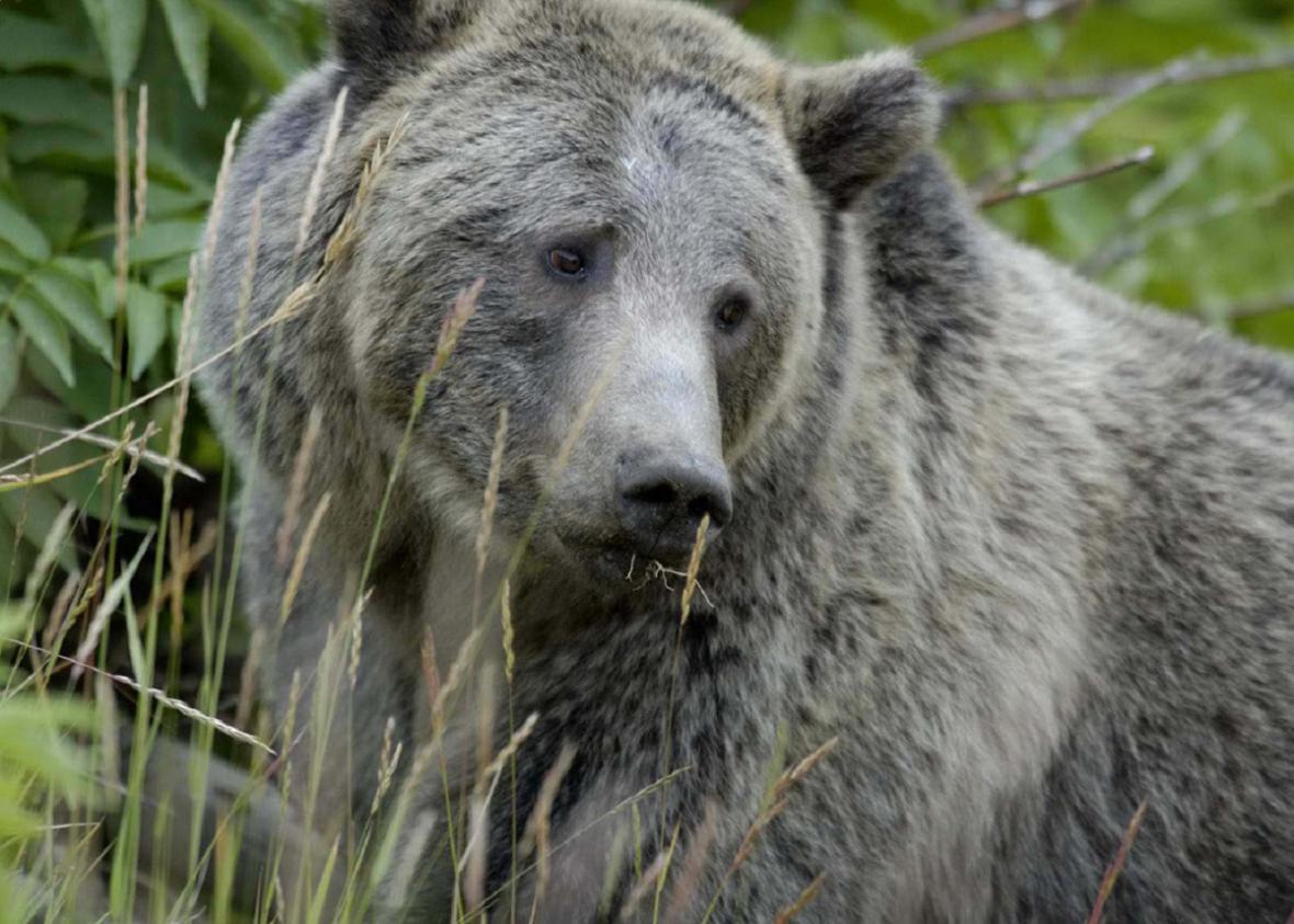 Medvědi grizzly