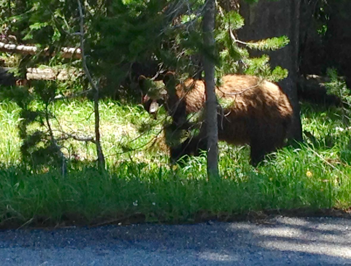 Grizzly v Yellowstonu