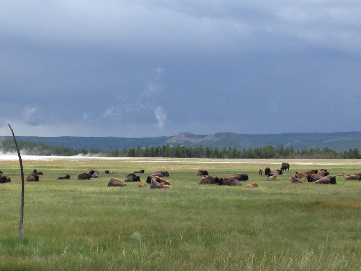 Bizoni v Yellowstonu