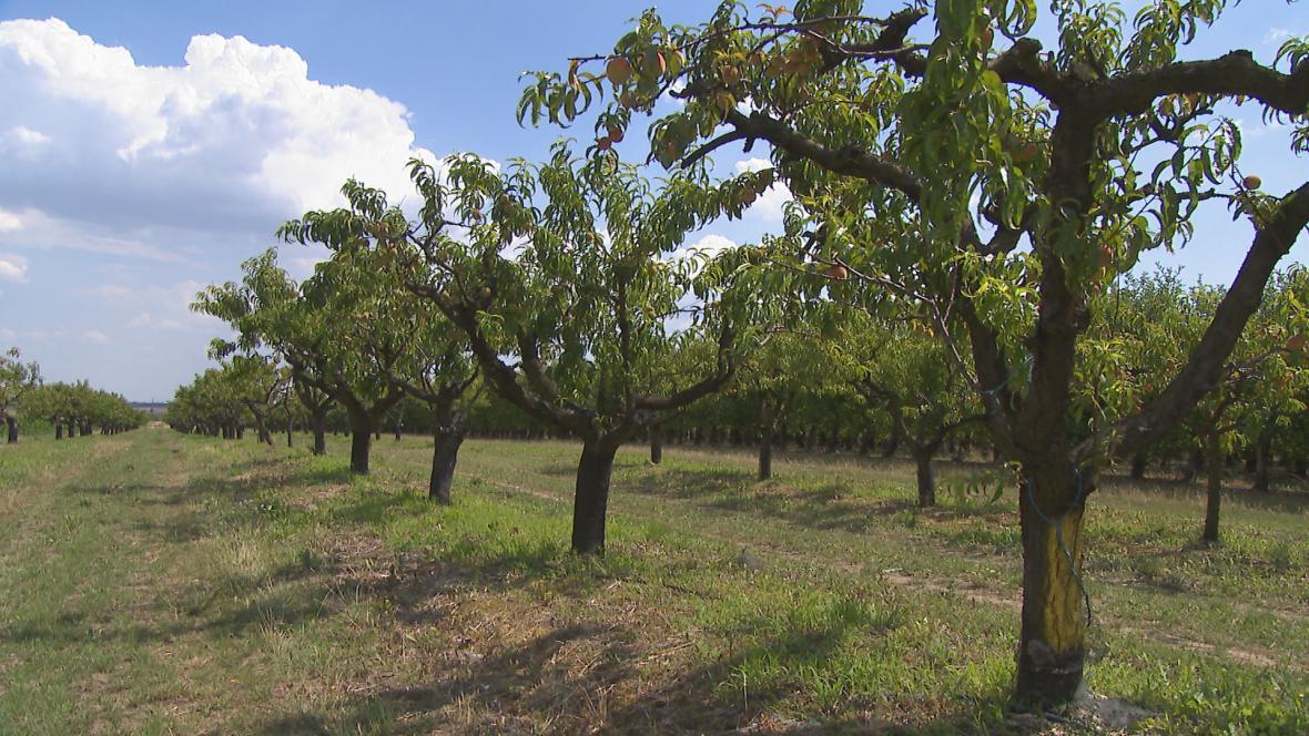 Na jihu Moravy ubývá ovocných sadů