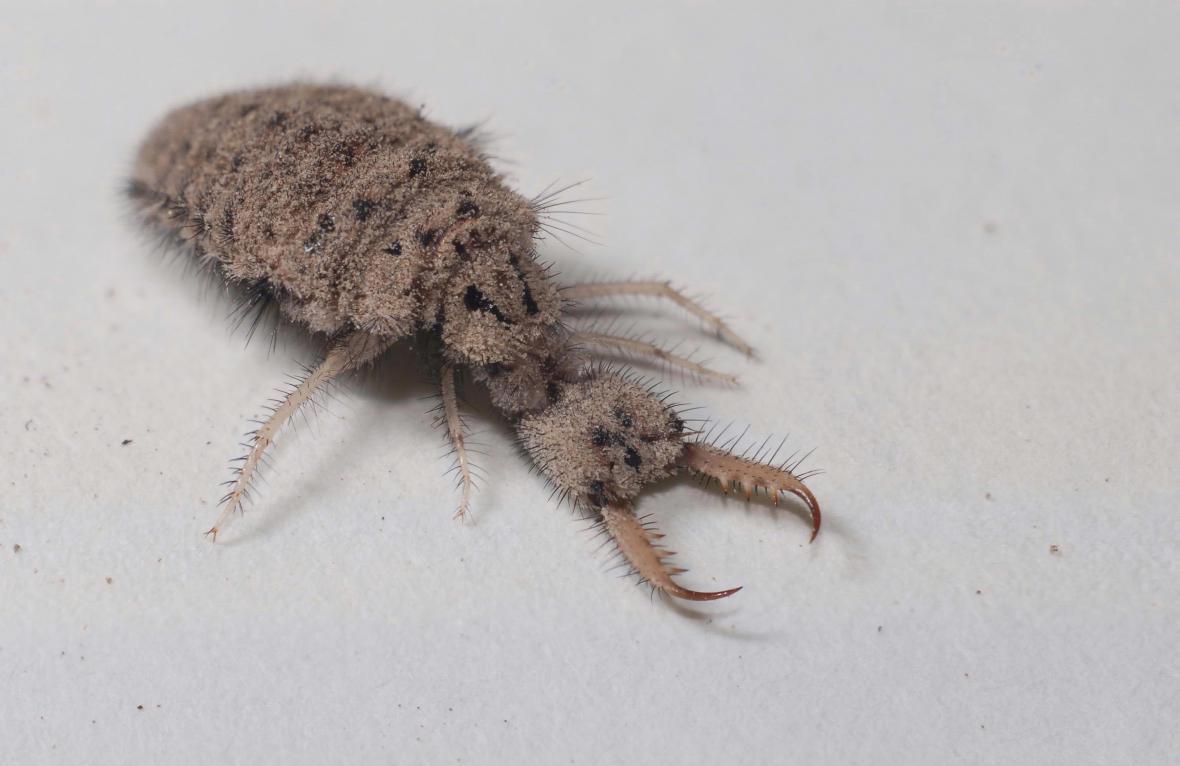 Larva mravkolva