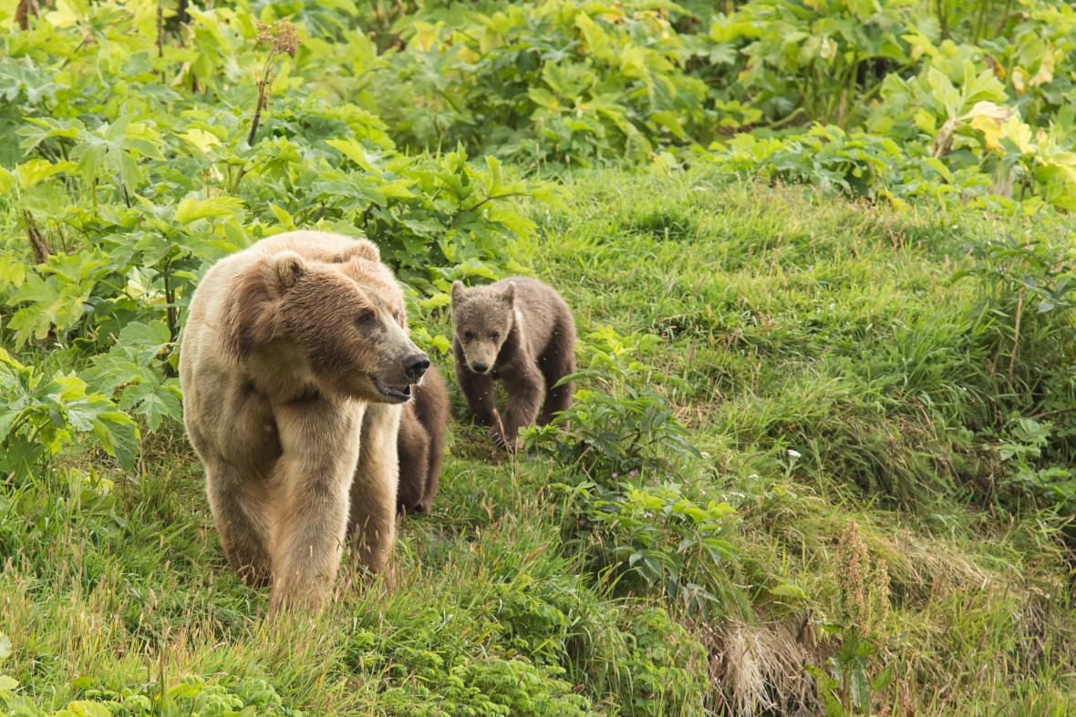 Medvědi kodiak
