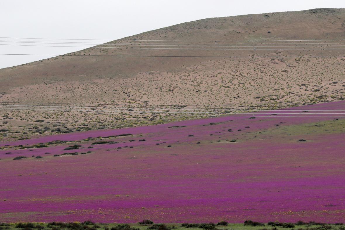 Kvetoucí poušť Atacama