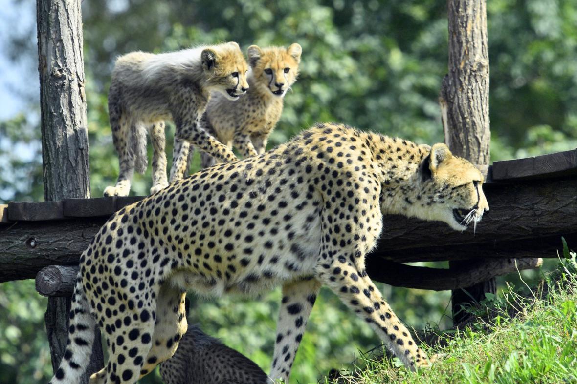 Gepardí paterčata