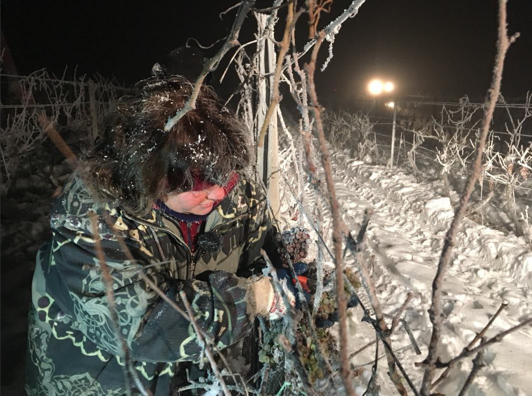 Vinaři sbírají zmrzlé bobule hroznů na ledové víno