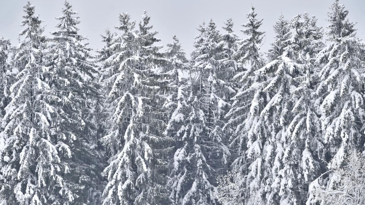 Zasněžené stromy u Frymburku na Českrokrumlovsku