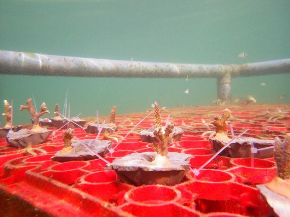Fotografie z libereckého programu na záchranu korálů