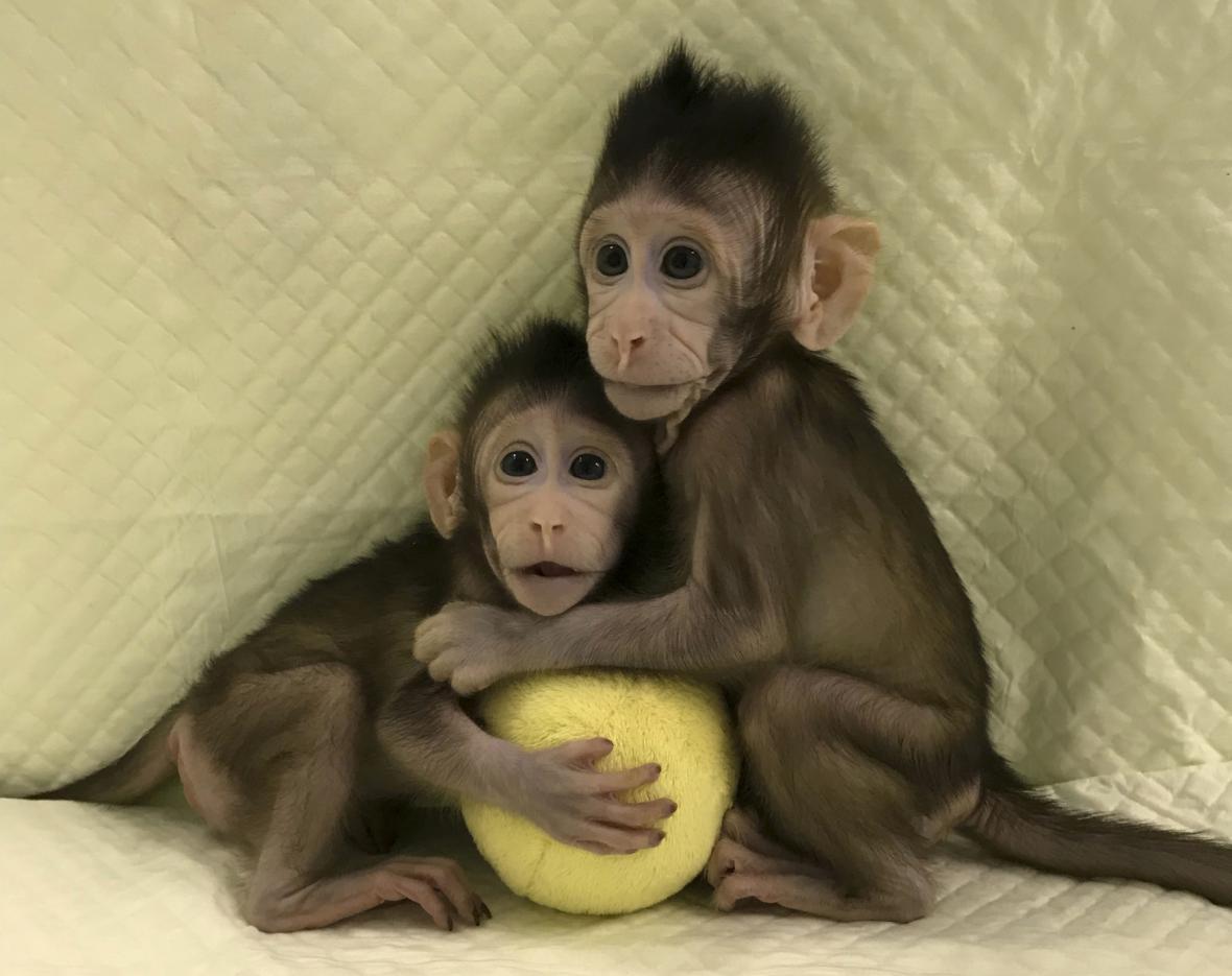 Naklonovaní makakové