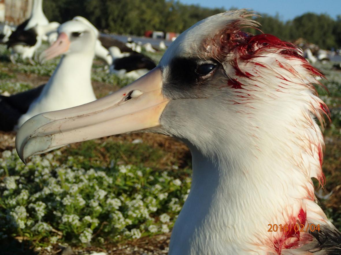 Albatrosové pokousaní myšmi