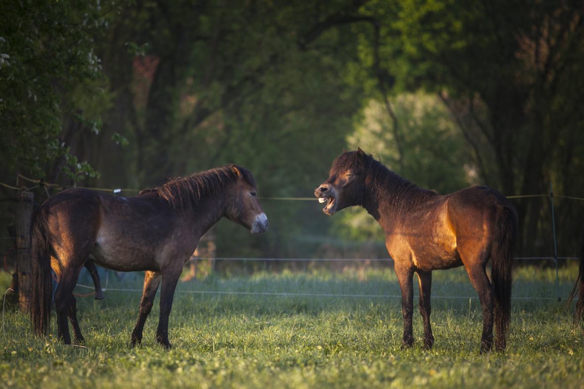 Divocí koně v Ptačím parku Josefovské louky