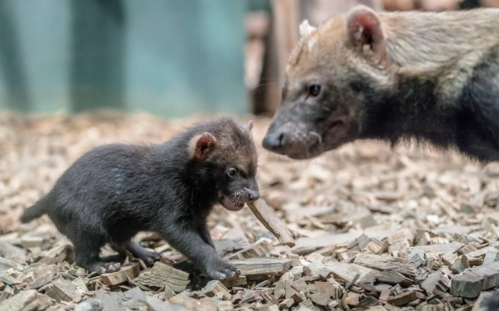 Štěňata psů pralesních v pražské zoo