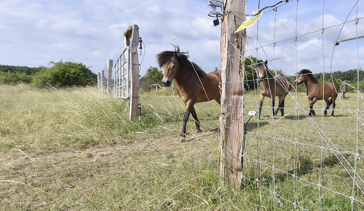 Divocí koně v Podyjí pomohou se spásáním náletů
