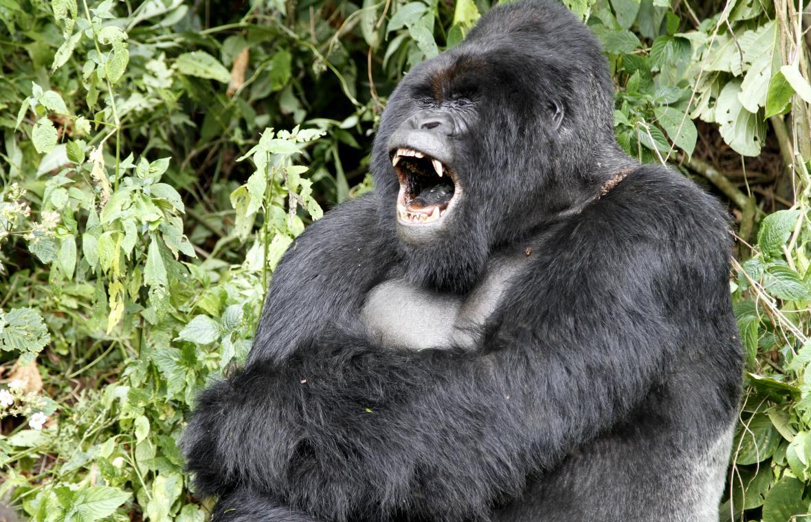 Horské gorily v národním parku Virunga