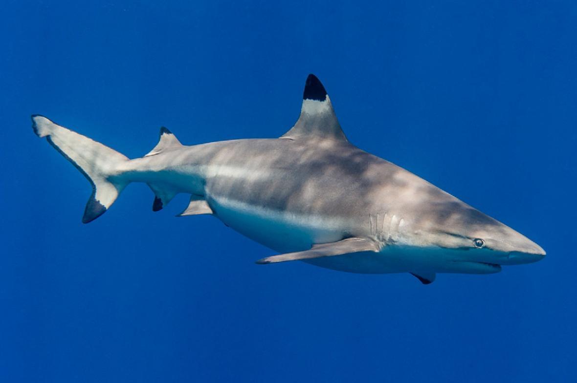 Modrouni - například žralok černoploutvý