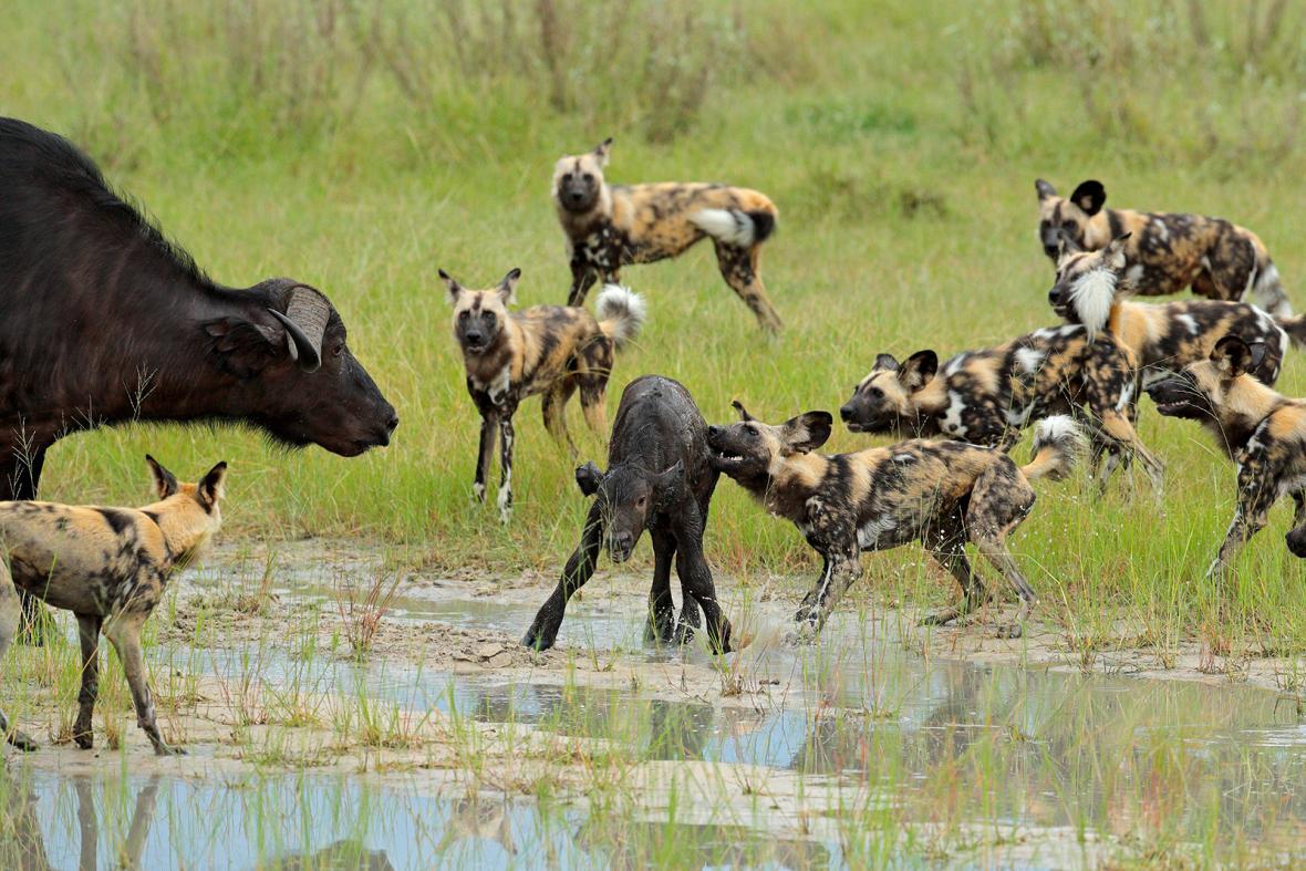 Nominace na vítěznou sérii Czech Press Photo 2018 (Věda a životní prostředí): Pes hyenovitý na lovu telete buvola afrického