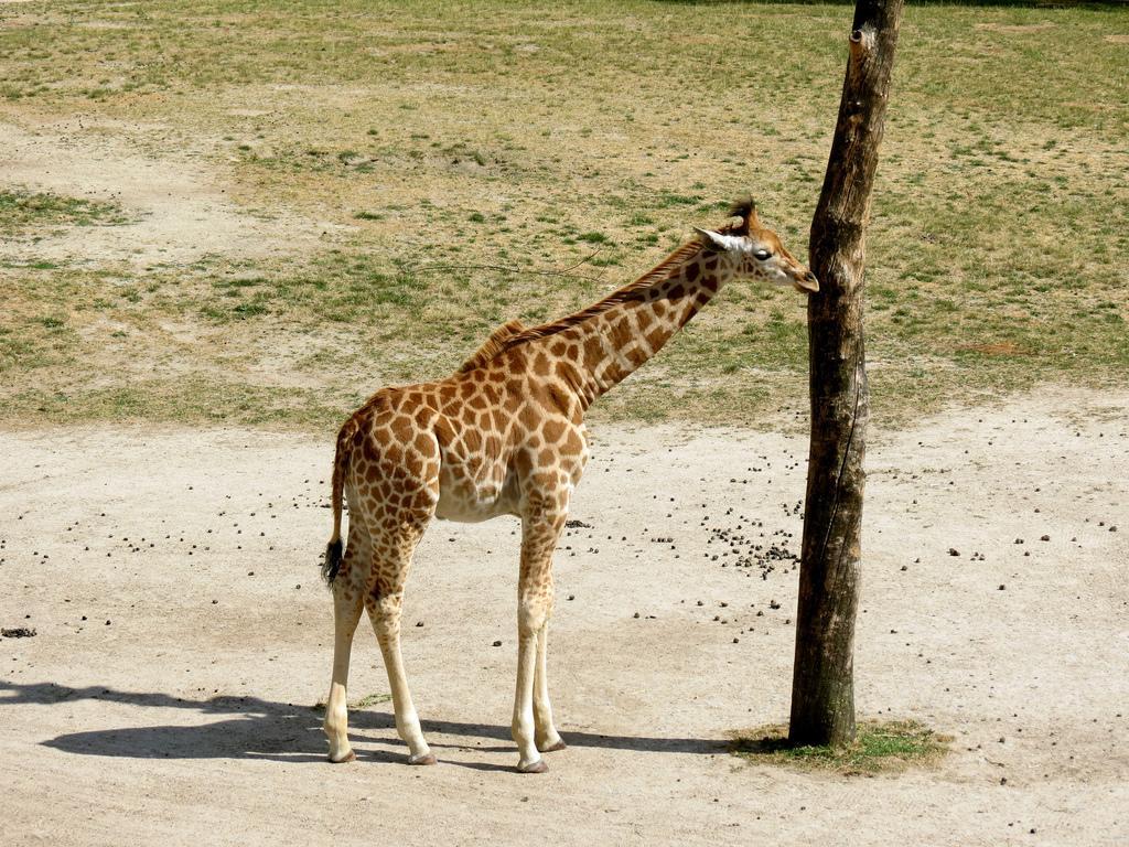 Žirafa kordofanská