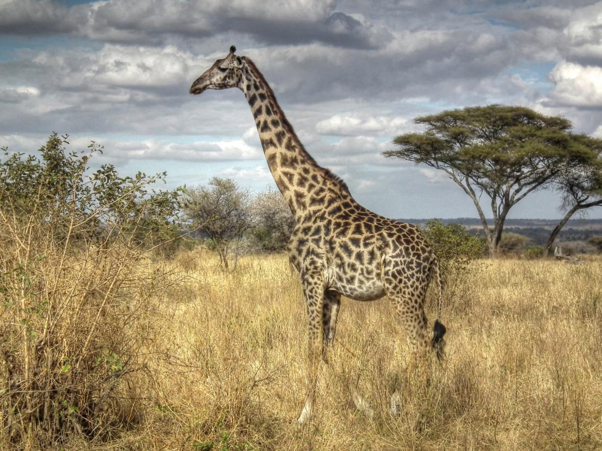 Žirafa masajská