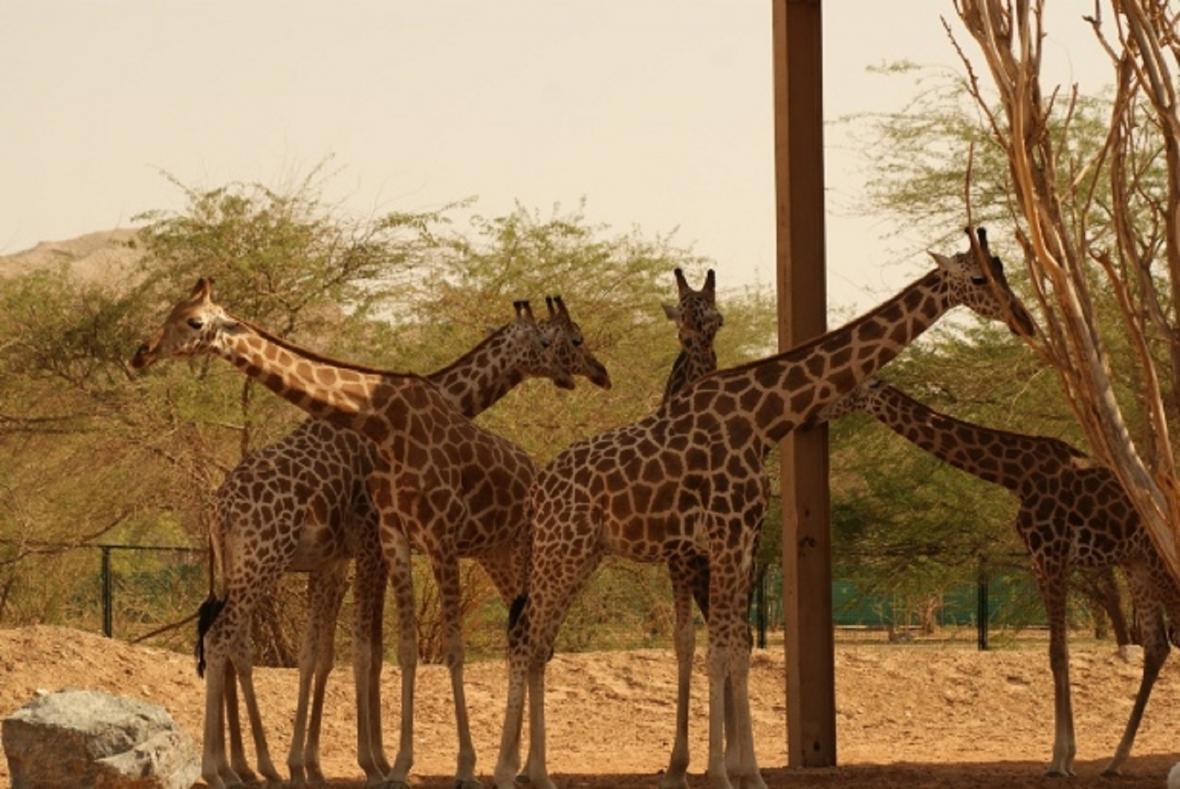 Žirafy núbijské