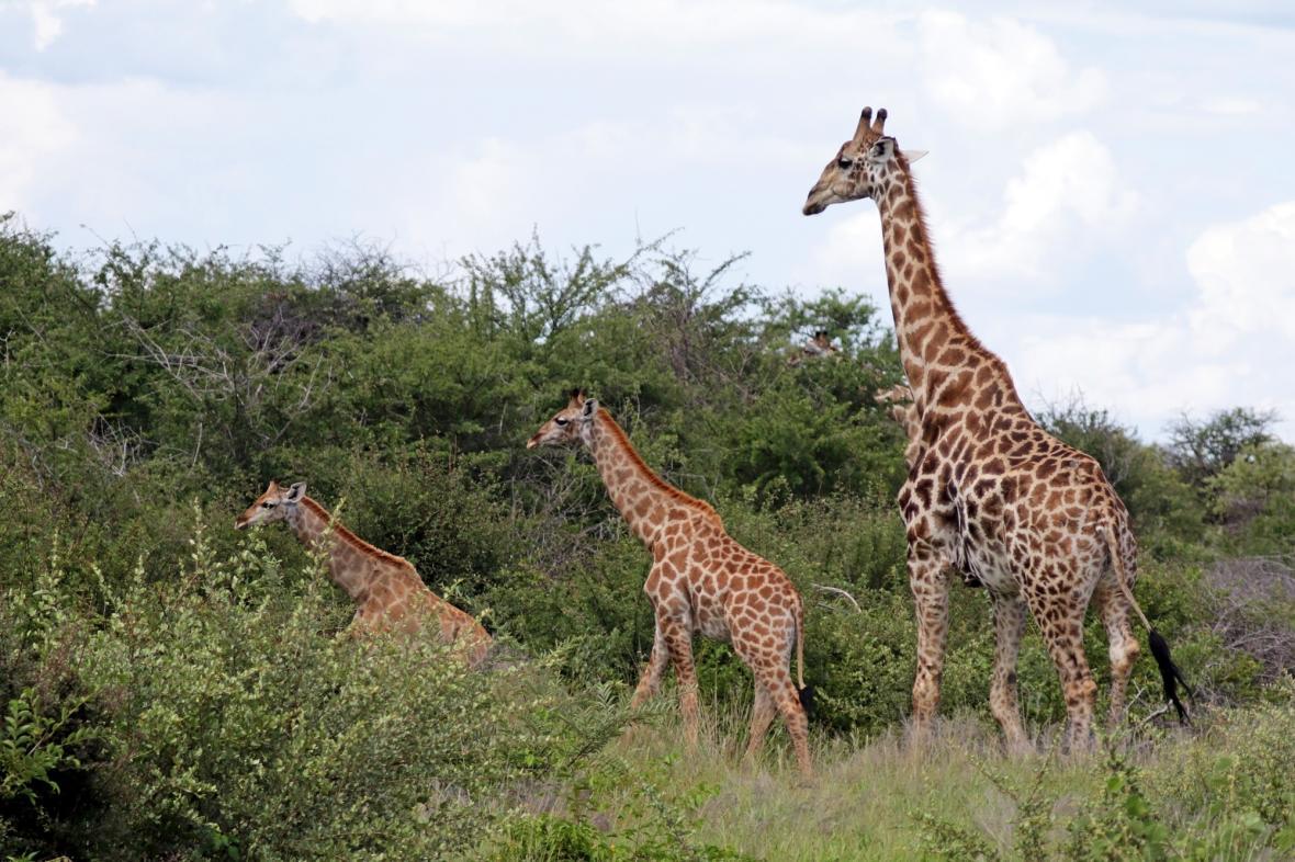 Žirafy angolské