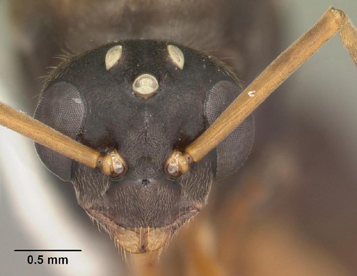 Hlava samce mravence Formica archboldi