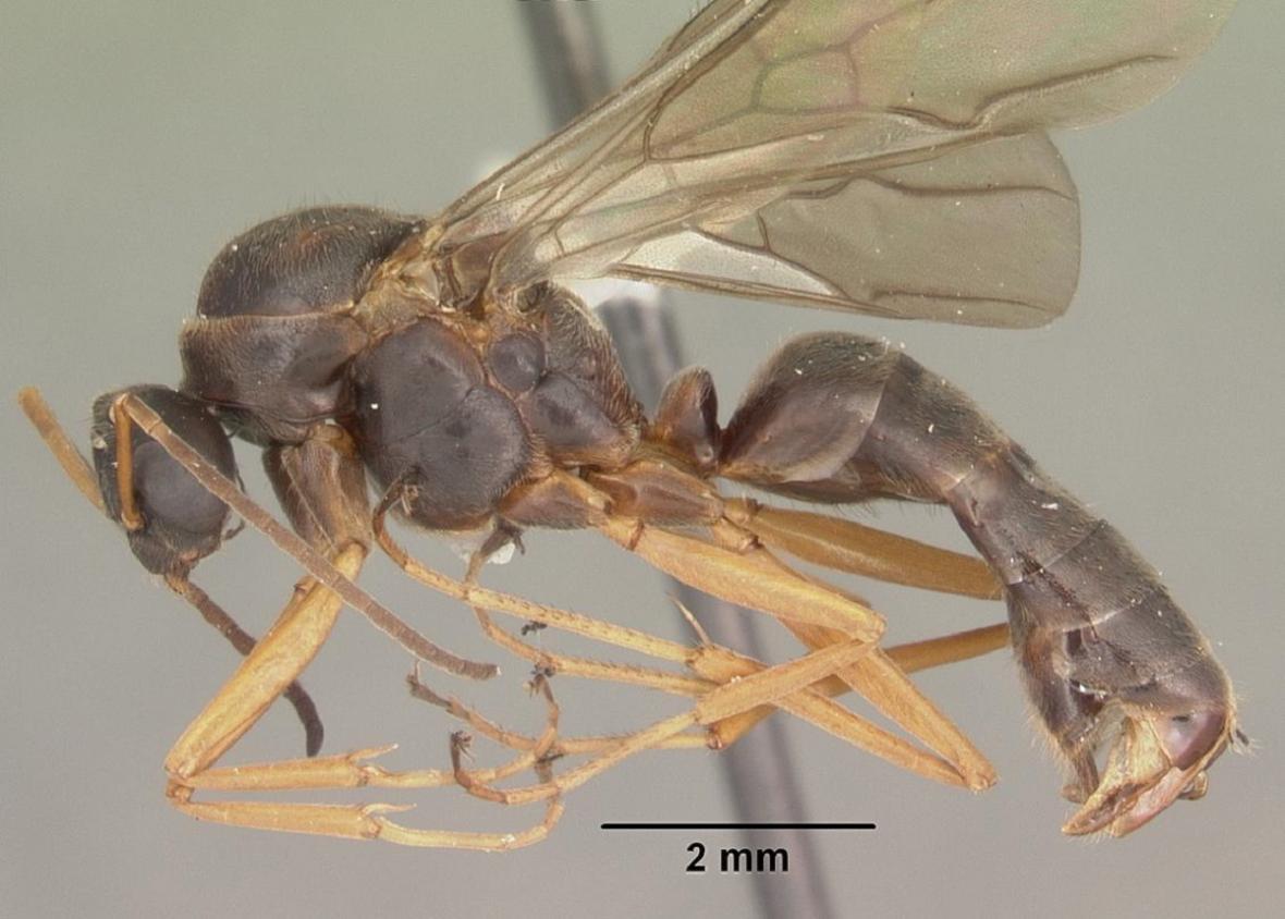 Tělo samce mravence Formica archboldi