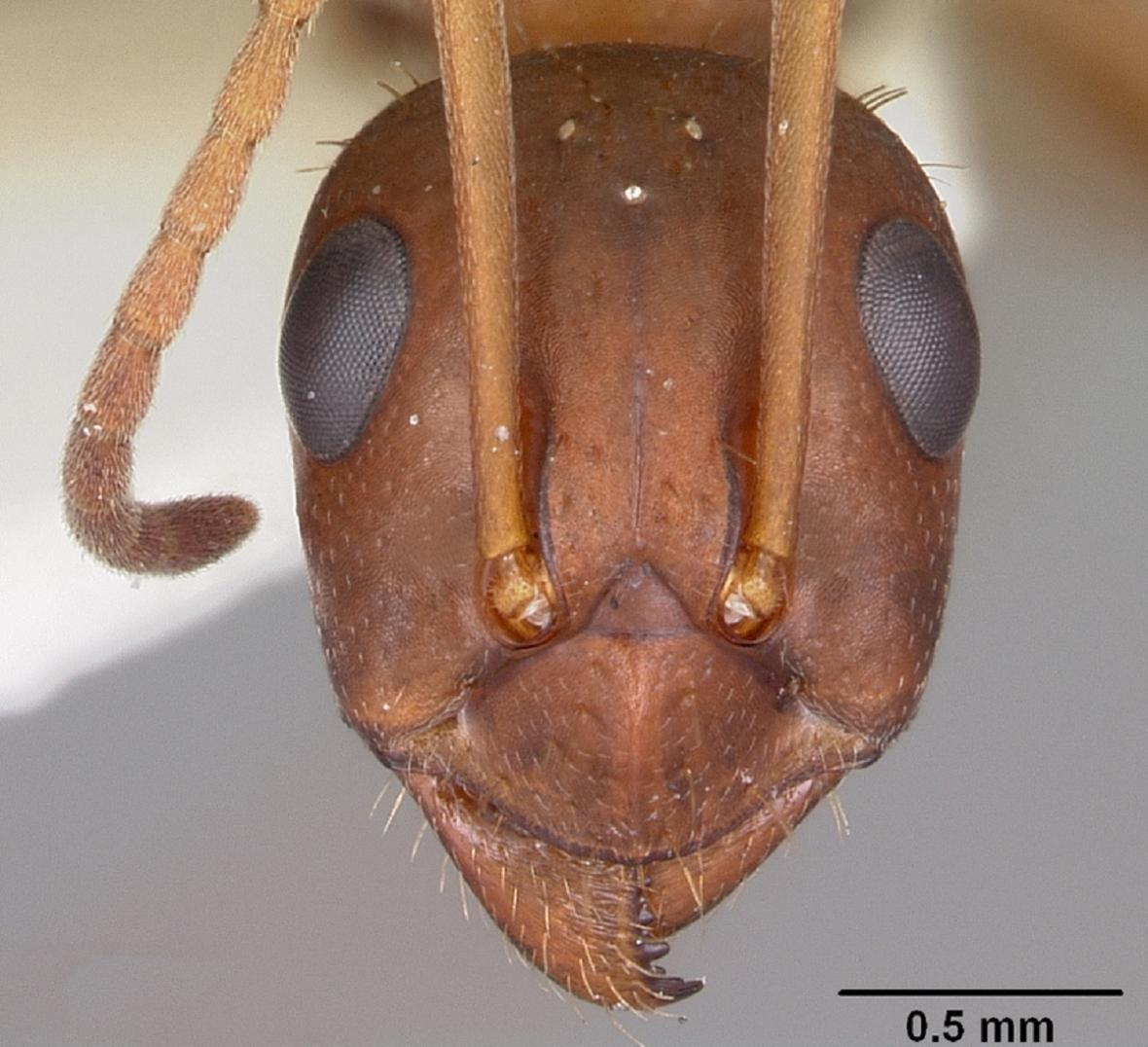 Hlava dělnice mravence Formica archboldi