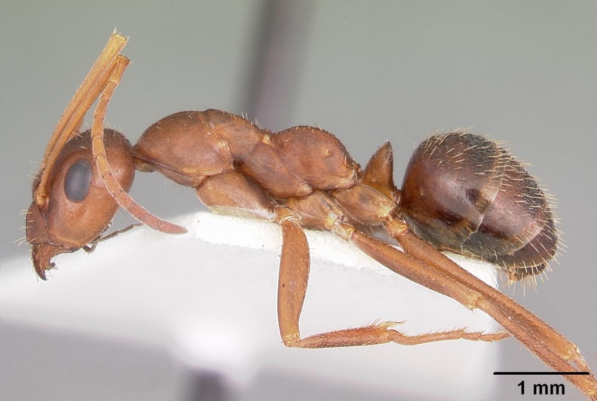 Tělo dělnice mravence Formica archboldi