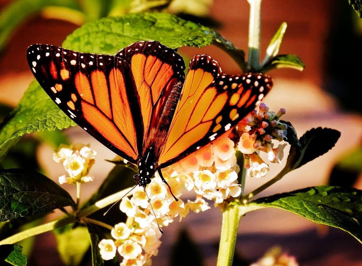Motýl monarcha stěhovavý