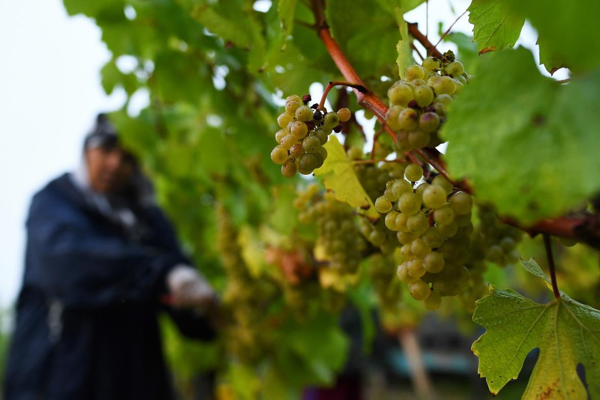 Vinohrady v Anglii