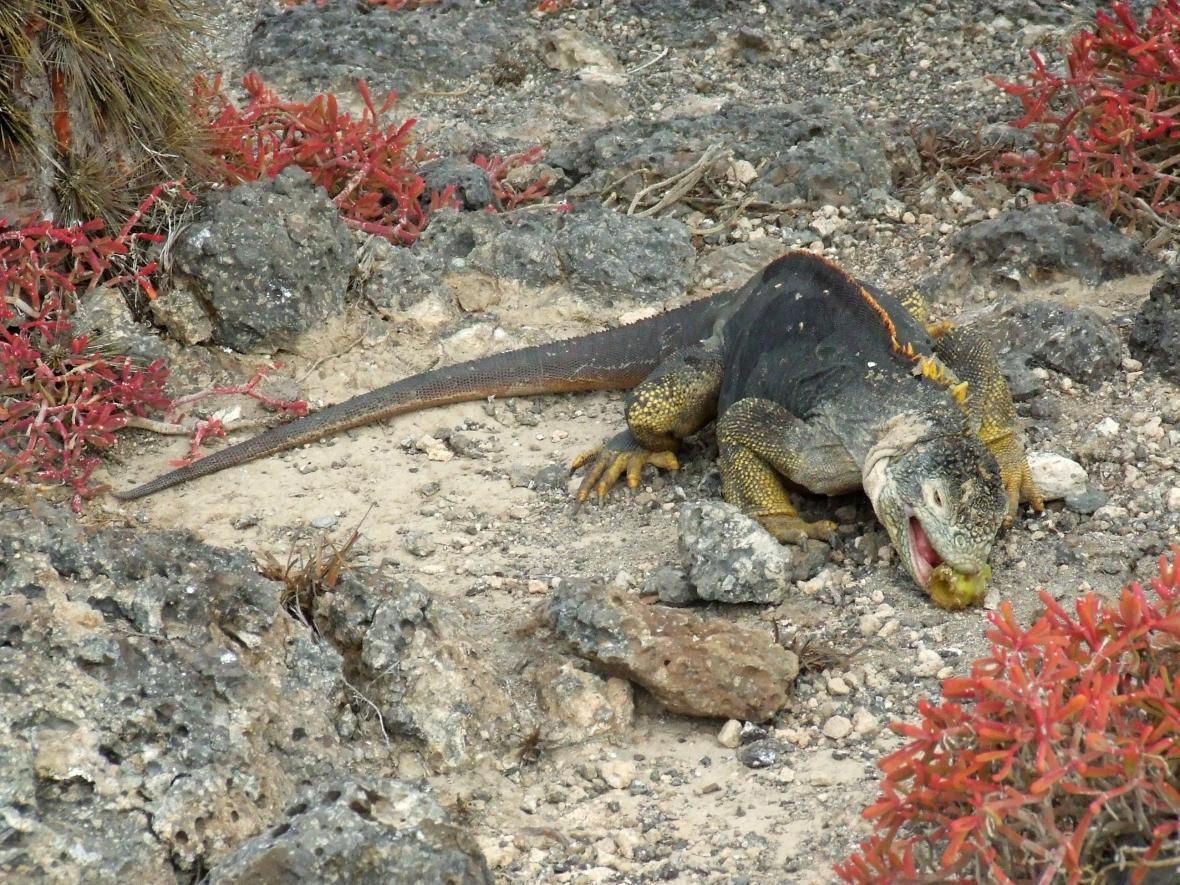 Leguán galapážský