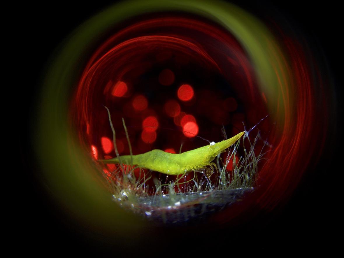 Makrofotografie bez zrcadlovky, Seagrass Shrimp Disco