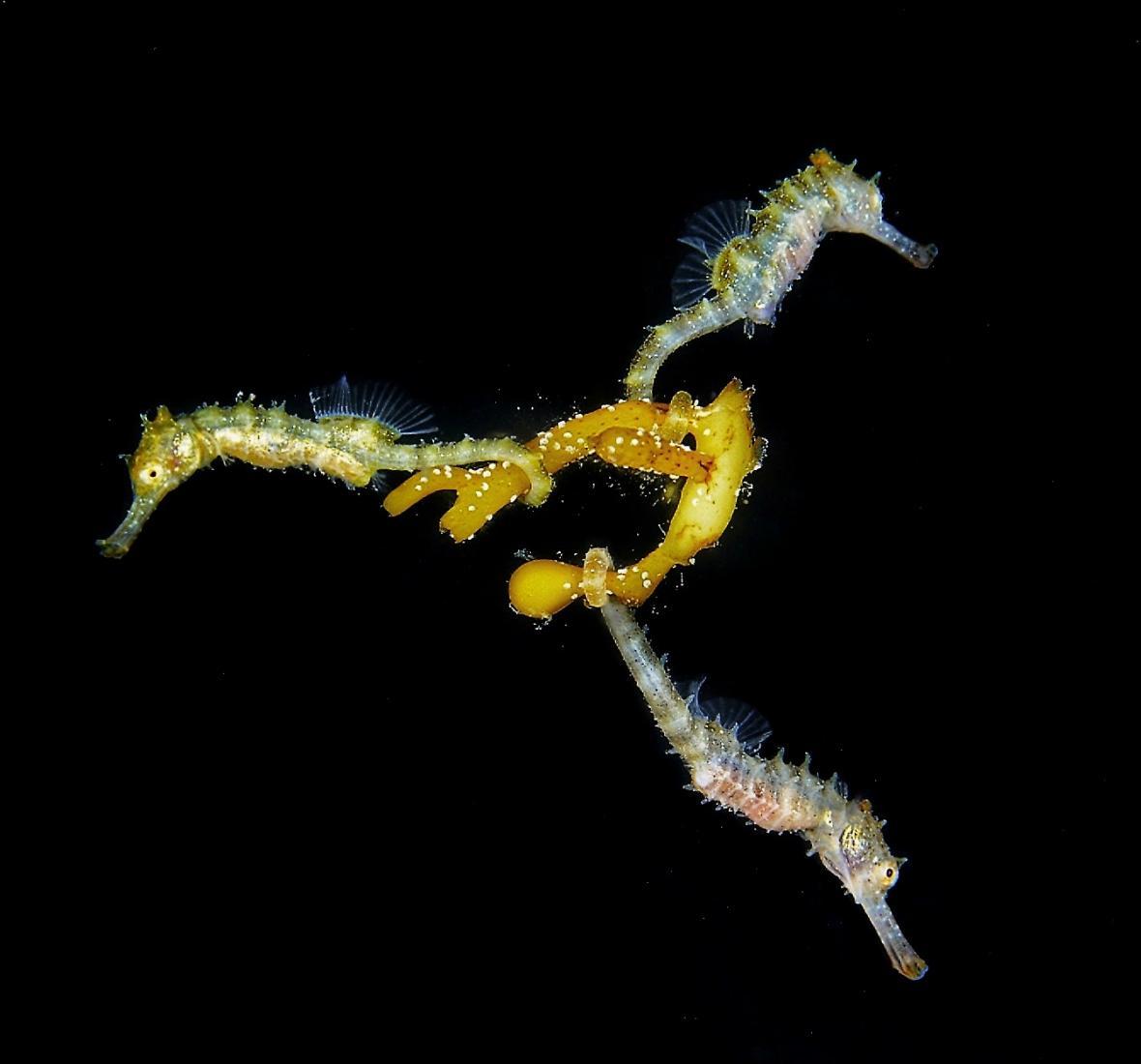 Makrofotografie bez zrcadlovky, 1.místo: 3 Baby Seahorses
