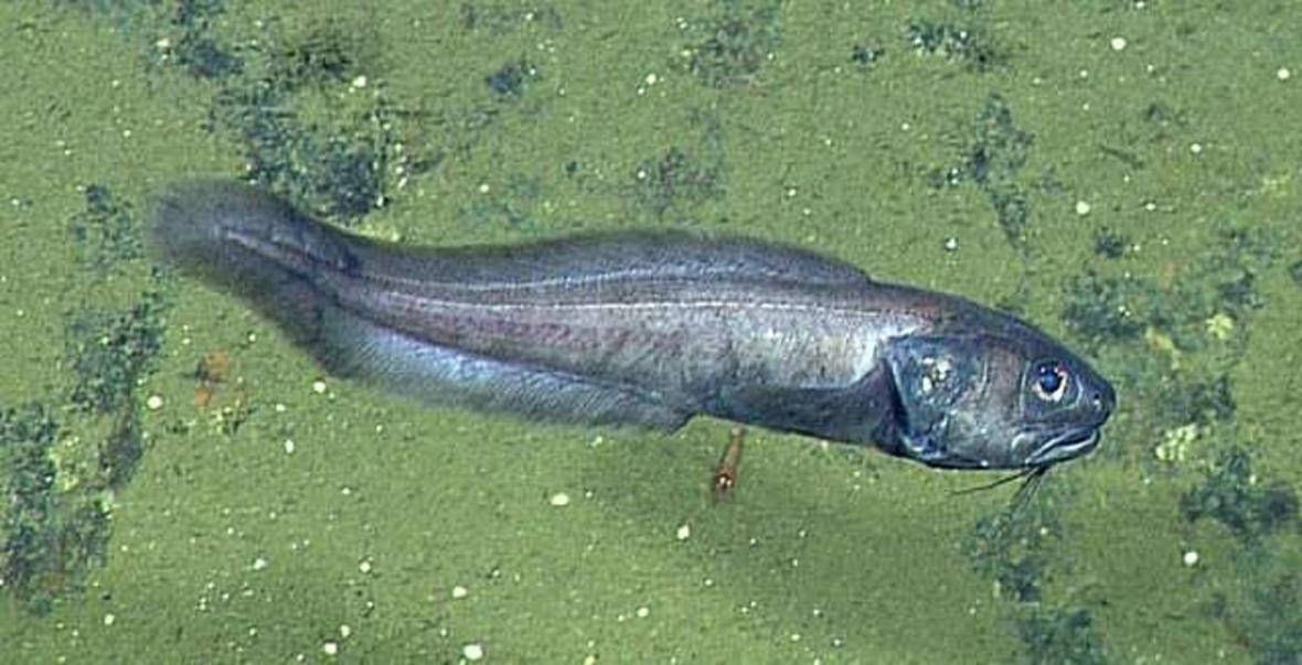 Ryby pozorované v oblasti bez kyslíku