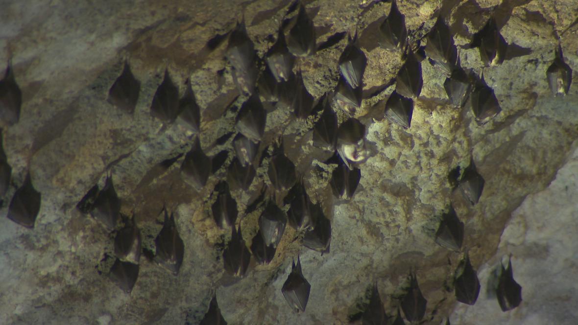 Zima netopýrům v Moravském krasu neublížila. Podle aktuálního sčítání jich  bude opět víc než loni 27cf7992f7