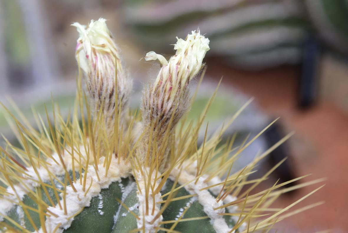 Rozkvetlé kaktusy a sukulenty na olomouckém výstavišti Flora