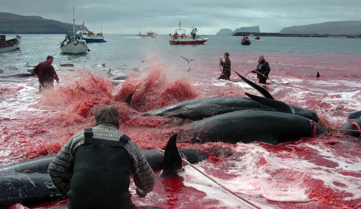 Lov kulohlavců na Faerských ostrovech