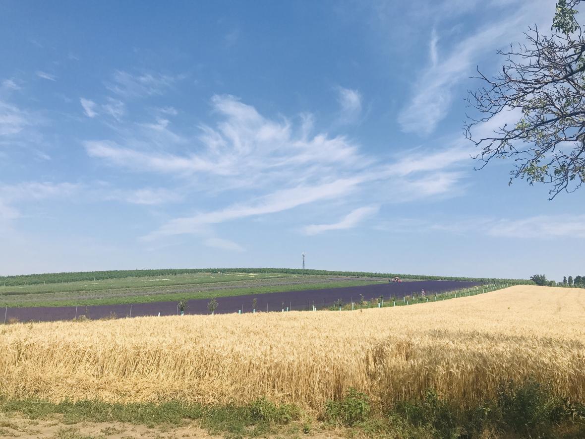 Levandulové pole u Staroviček na Břeclavsku