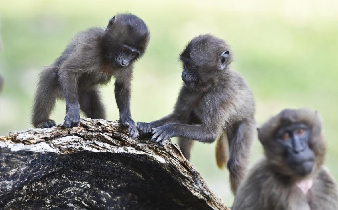 Zlínská zoo odchovala mláďata dželad hnědých