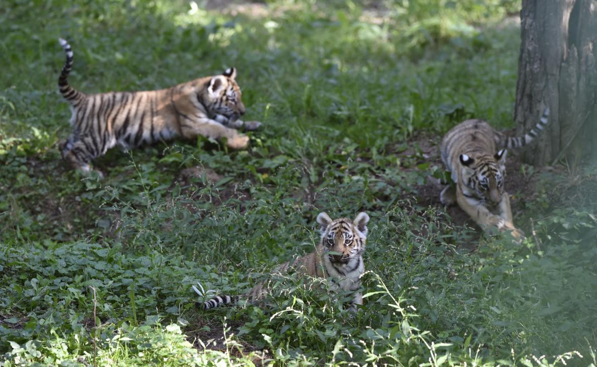 Mlažata tygrů ussurijských ve zlínské zoo