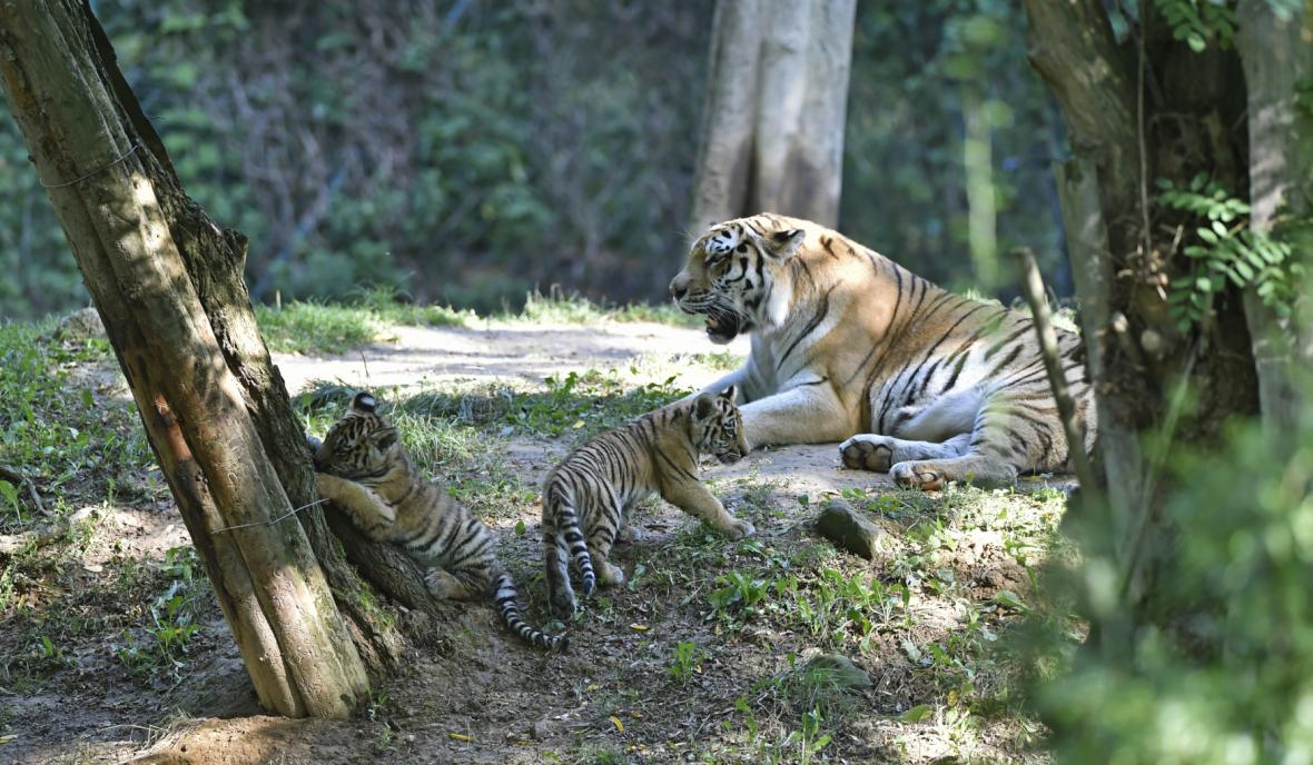 Mláďata tygrů ussurijských ve zlínské zoo
